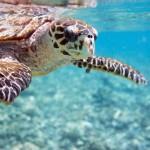 9_Meeresschildkröte