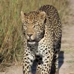 Leopard auf Safrai in Südafrika fotografiert - Rundreise mit Abenteuer Südafrika spannend
